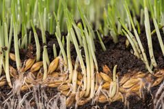 Bright green grass. With roots in the organic soil. Focus on the roots Stock Photos