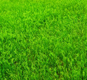 Bright green grass. Stock Photography