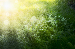 A bright green grass, with sunlight, natural background, close up Royalty Free Stock Image