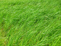 Bright Green grasses blowing in the grass field on windy day Royalty Free Stock Photography