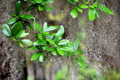 Bright green, healthy leaves of tropical tree Stock Image