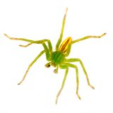 Bright green huntsman spider macro - isolated Royalty Free Stock Photos