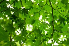 Looking up bright green japanese maple leaves. Looking up from under some bright green Japanese maple leaves on thin branches Royalty Free Stock Photography