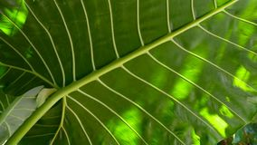 Slow motion of exotic greenery. A bright green juicy tropical leaf waving in the sun in the wind playing with shadows stock footage