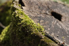 Moss  on the stump Royalty Free Stock Photo