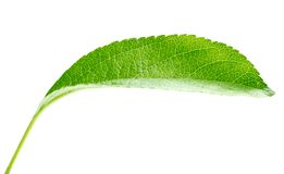 Bright green leaf Royalty Free Stock Image