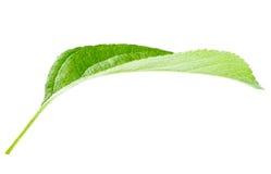 Bright green leaf Stock Photos
