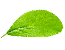 Bright green leaf Royalty Free Stock Images