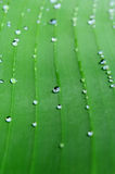 A bright green leaf of banana palm with veins and rain drops. Close up. Green leaf of banana palm with veins and rain drops Royalty Free Stock Photos