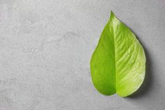 Bright green leaf on grey background. Top view Stock Photos