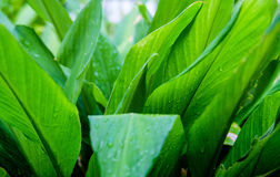 Bright green leaf after rain. Blackground Stock Image