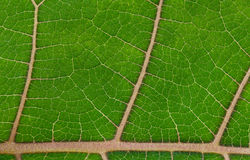 Bright green leaf Royalty Free Stock Photo