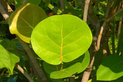 A bright green leaf, with a tree`s shape in its veins, from a lush Thai garden park. A bright green leaf, with a tree`s shape in its veins, from a lush garden Royalty Free Stock Photo
