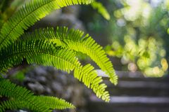 Bright green leaf tropical fern on a light green blurred background. Close-up with bokeh. Beautiful Bush in the tropical garden. stock photos