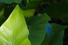 A bright green leaf, wet from the rain, standing out from a darker leafy background, in a lush green Thai park. A bright green leaf, wet from the rain, standing Royalty Free Stock Photos