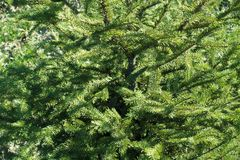 Bright green leafage of common spruce. Tree Royalty Free Stock Image
