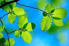 Bright green leafs. Of young birch with clear blue sky Royalty Free Stock Photo