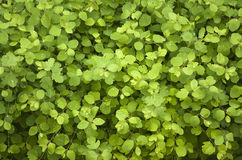Bright Green Leafs Royalty Free Stock Photo