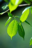 Bright green leafs. Of young birch Royalty Free Stock Photos