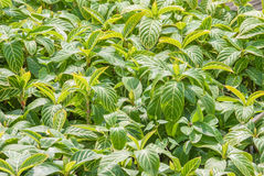 Bright Green Leafs Royalty Free Stock Image