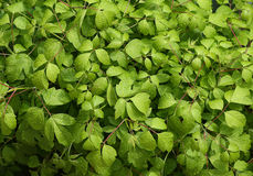 Bright Green Leafs Stock Photography