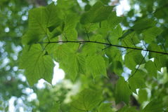 Bright Green leaves Stock Image