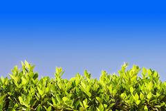 Bright green leaves against the blue sky, at the bottom of the f. Rame, sheets of light Stock Photos