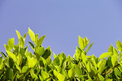Bright green leaves against the blue sky, at the bottom of the f. Rame, sheets of light Stock Images