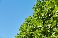 Bright green leaves against the blue sky, at the bottom of the f. Rame, sheets of light Stock Photography