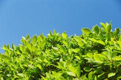 Bright green leaves against the blue sky, at the bottom of the f. Rame, sheets of light Royalty Free Stock Photos