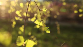 Bright green leaves of birch stock footage