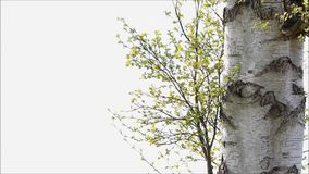 Bright green leaves of birch in spring stock video footage