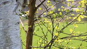 Bright green leaves of birch in spring. Texture stock video