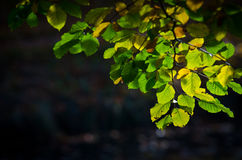 Bright green leaves. A branch with bright green leaves Royalty Free Stock Photo