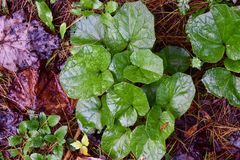Coltsfoot leaves on a forest floor. Bright green leaves of the coltsfoot plant Tussilago farfara on a forest floor in western Pennsylvania. It is an introduced Stock Image