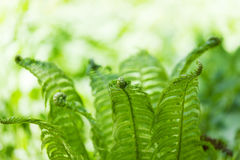 Bright green leaves of a fern Stock Photography