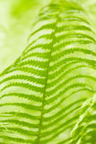 Bright green leaves of a fern Royalty Free Stock Image