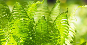 Bright green leaves of a fern Royalty Free Stock Photo