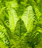 Bright green leaves of a fern Royalty Free Stock Images
