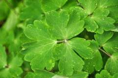 Bright green leaves of a garden plant with rain drops water dew top view Royalty Free Stock Photos