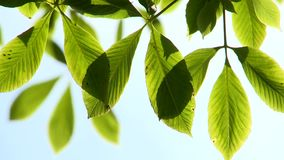 Bright green leaves gently moving in the breeze. Video of bright green leaves gently moving in the breeze stock video footage