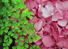 Bright Green Leaves Beside a Pink Hydrangea Blossom Stock Photos