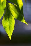 Bright Green Leaves Stock Photo