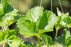Bright green leaves of a strawberry. Strawberries bushes backgro Royalty Free Stock Photos