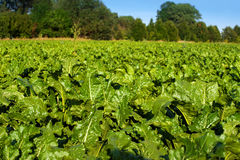 Bright green leaves in Sugar beet field. Bright green, fresh leaves in Sugar beet field at sun light Royalty Free Stock Photos