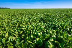 Bright green leaves in Sugar beet field. With sky Royalty Free Stock Images