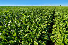 Bright green leaves in Sugar beet field with blue sky. Bright green leaves in Sugar beet field with sky Stock Photos