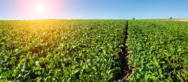Bright green leaves in Sugar beet field with sun. Rise Stock Photo