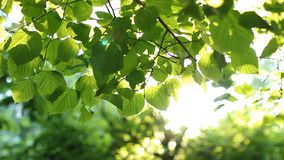 Bright green leaves on a tree, lit by the sun. Sunset in the summer park stock video