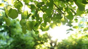 Bright green leaves on a tree, lit by the sun. Sunset in the summer park stock footage